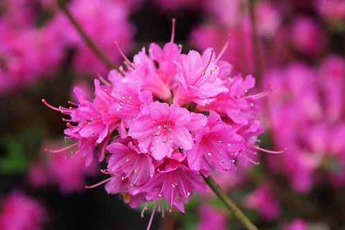 Azalea Fucsia flor chica