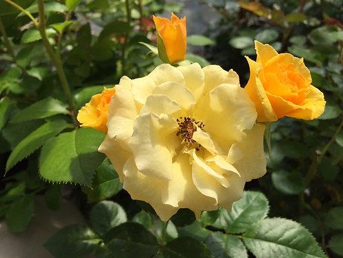 Rosa Floribunda Gold Cottage