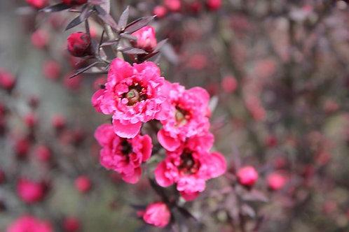 Lep. Rojo Doble