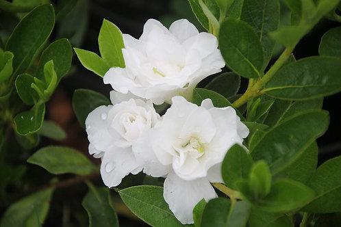 Azalea Blanca doble flor chica