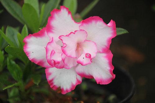 Azalea Blanca borde rosado