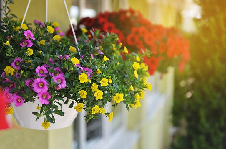 Baskets of hanging petunia flowers on ba