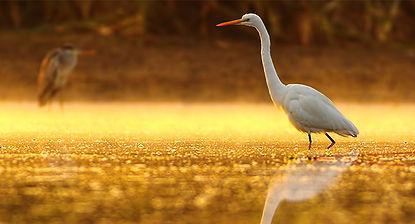 Great_Egret_Morning_700x350_tcm21-155321