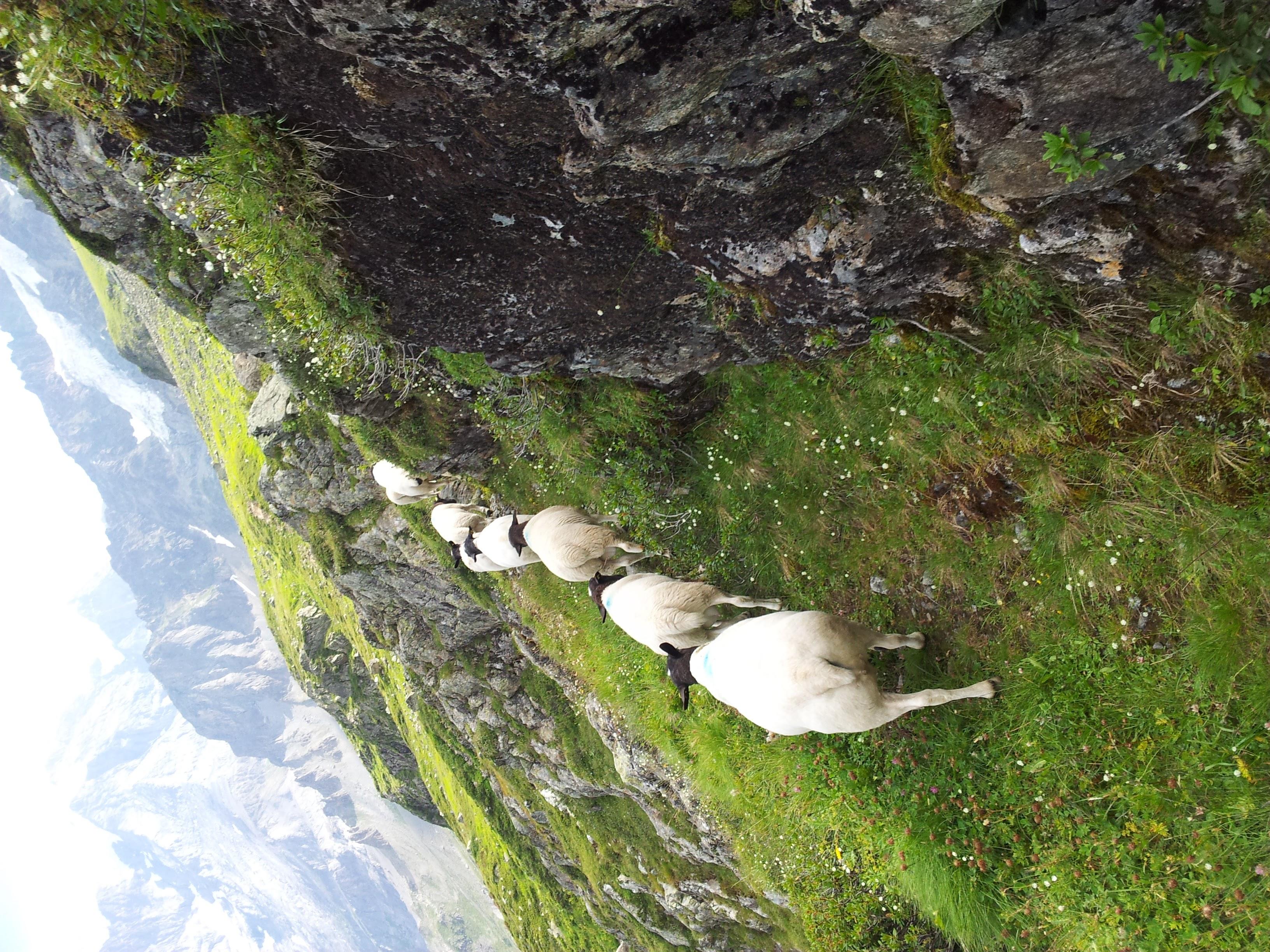 Dorper Schafe in der Jungfrau Region