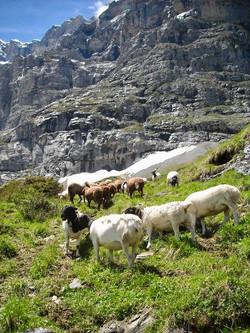 Dorper Schafe in den Bergen