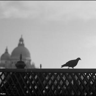 Pigeon and La Salute, Venice, 2009