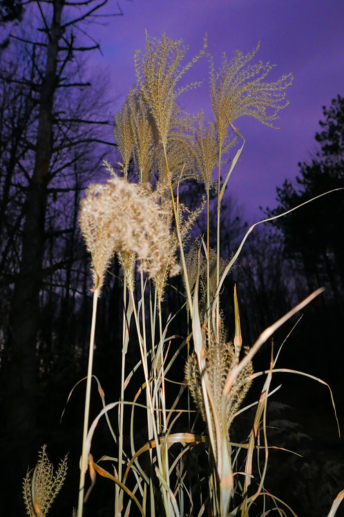 Yellow Reed. Purple Sunset