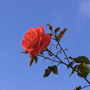 Embrace the thorns in your rose, the beautiful rose que es la vida.