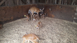 2017 fawns