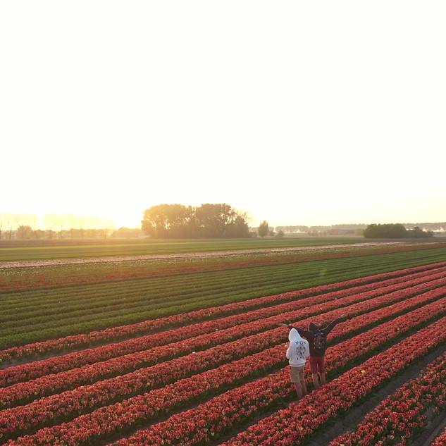 Belgian Tulips