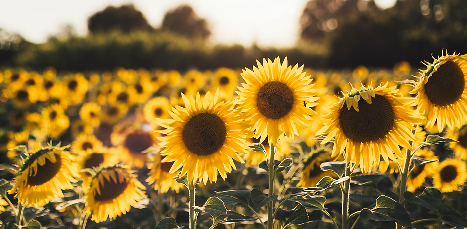 yellow%20sunflower%20field_edited.png