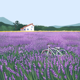 A bicycle in the lavender field