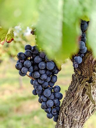 grapes pre lalande_edited.jpg