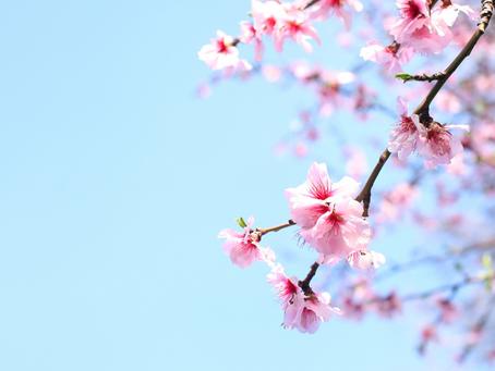 Super-easy children's cherry blossom thumb painting