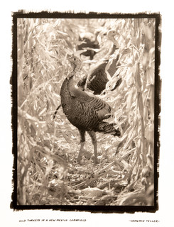 Wild Turkeys in a New Mexico Cornfield