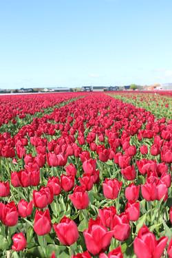Tulpen wandeltocht