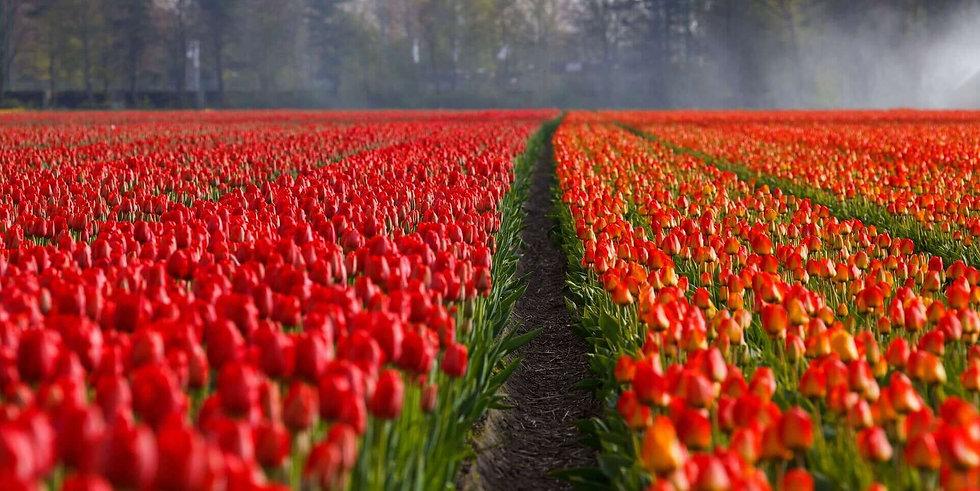 Pippin Hikes, Veld met tulpen tijdens de