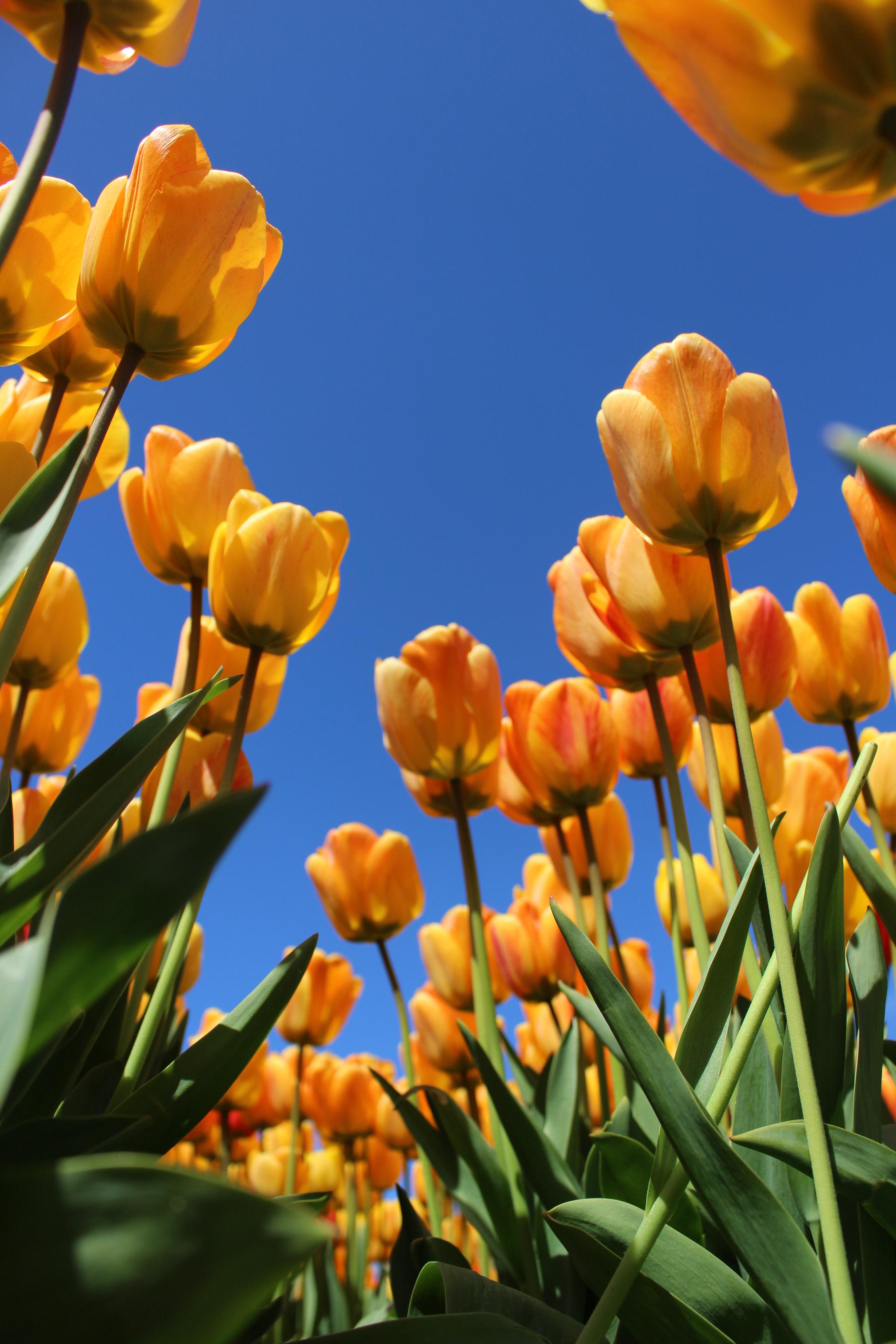Bollenvelden Tulpen Hike