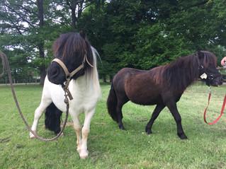 Deux poneys Shetland en pré débourrage