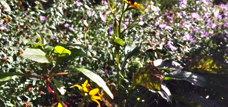 Brown Eyed Susan and Late Purple Aster