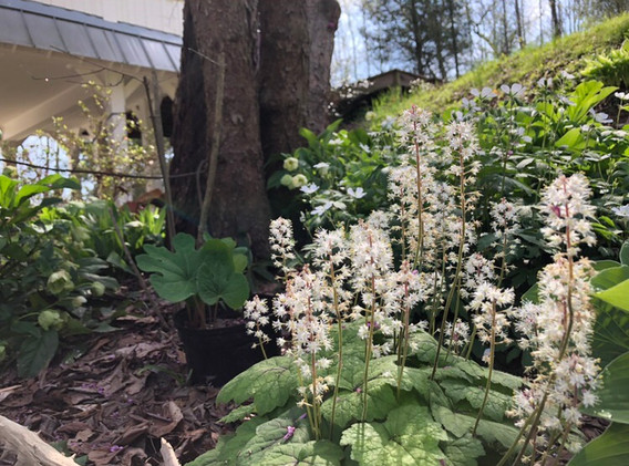 Foamflower and Bloodroot