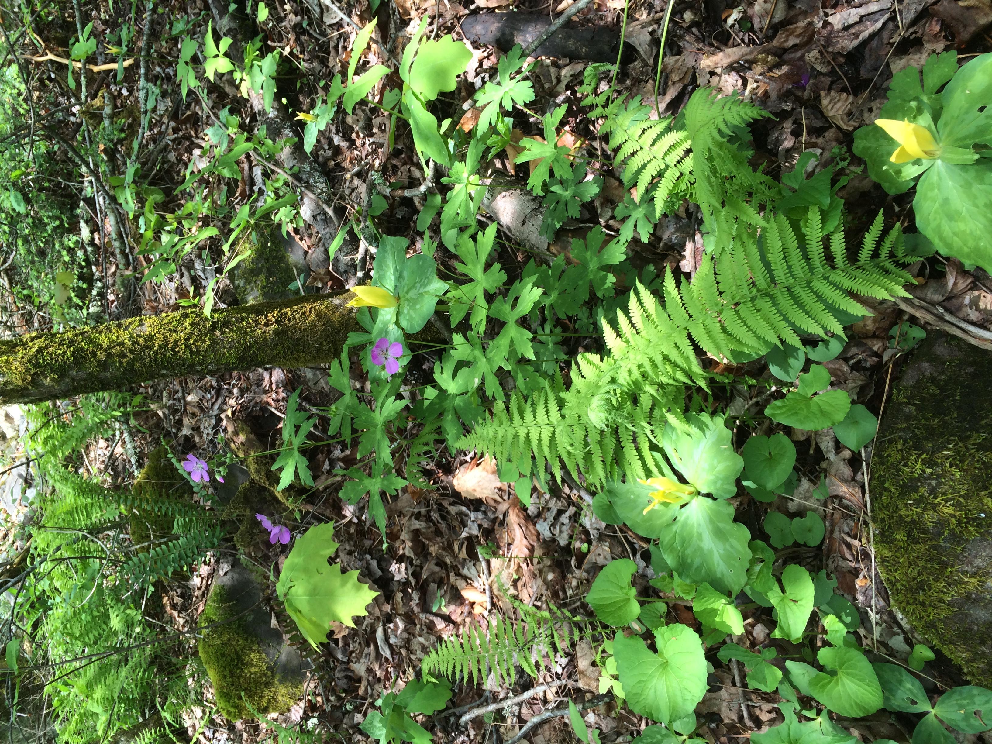 Geranium, fern, and trillium