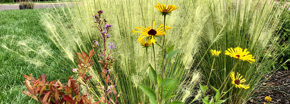 White Clound Muhly Grass with 'Henry Eilers' Sweet Conelfower