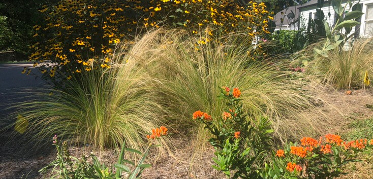 Butterlfy Weed and Mexican Feather Grass with Brown Eyed Susan in the back