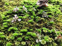Woodland Stonecrop