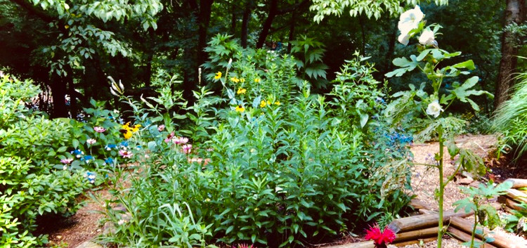 Scarlet Bee Balm in May