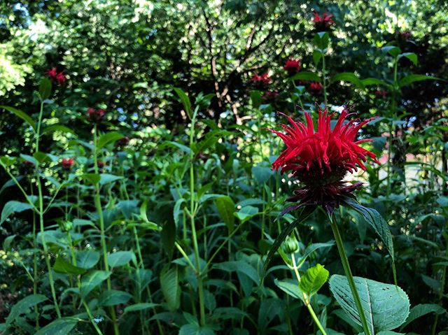 Monarda didyma_common_ Scarlet bee balm_