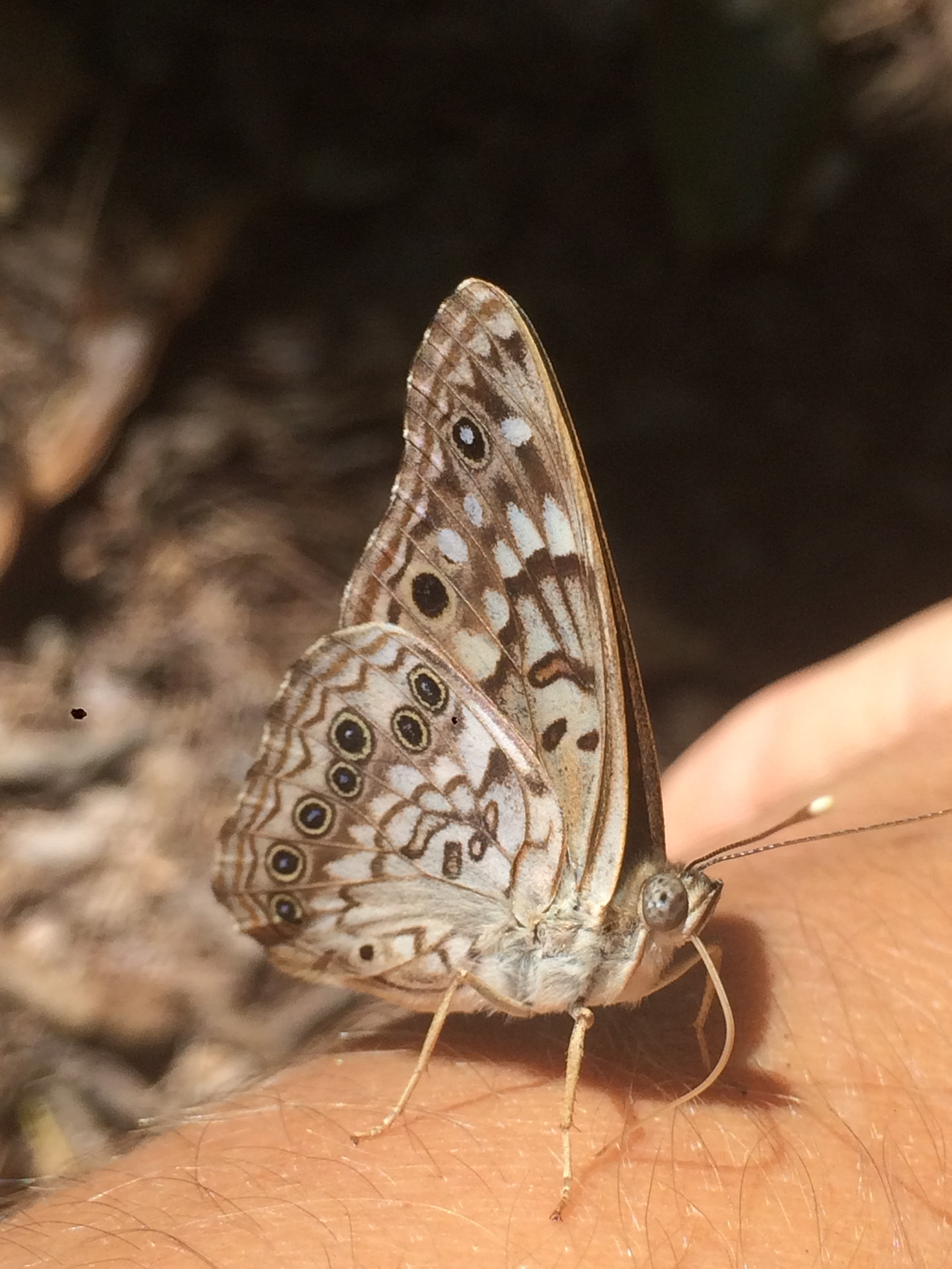 The Hackberry Emperor