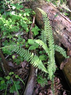 Ebony Spleenwort Fern