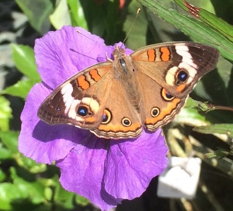 Common Buckeye on a Wild Petunia