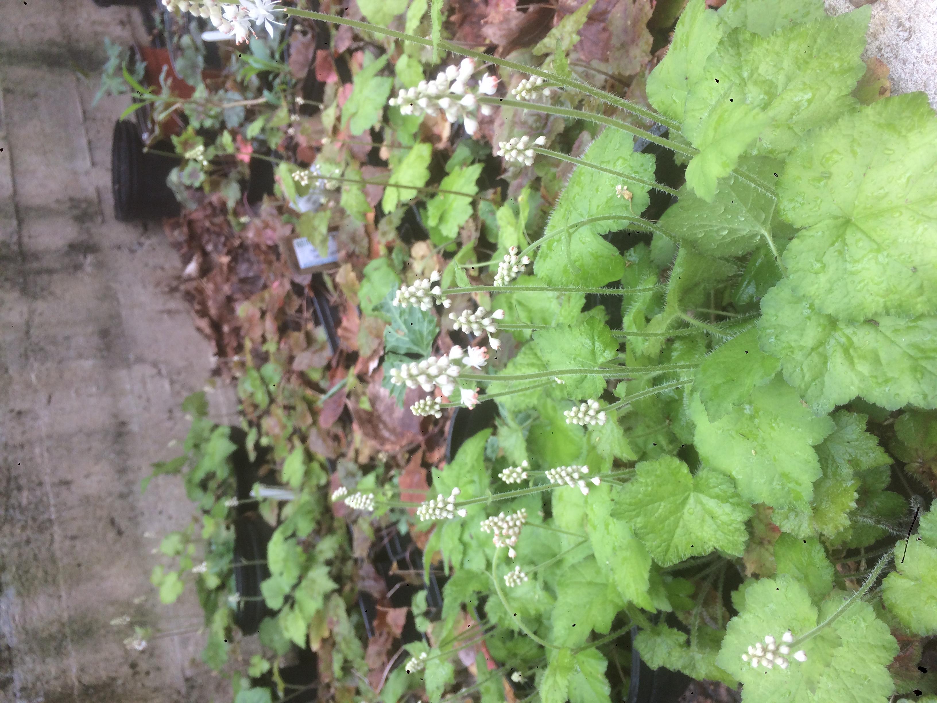 Tiarella cordifolia 'Foamflower'