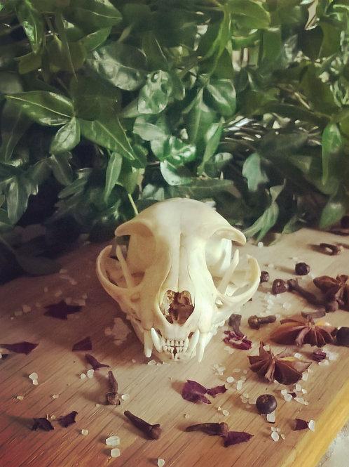 Cat Skull - Felis Catus - loving and protective.
