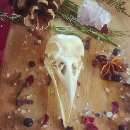 Crow Skull with Jaw - animal totem.