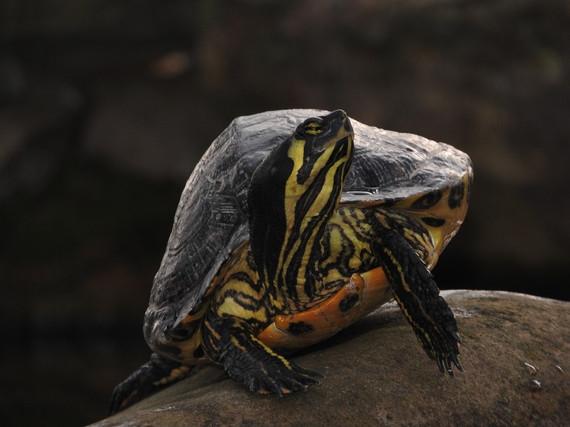Thomas Giordano - Turtle