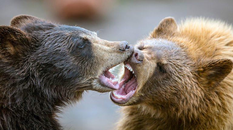 Bears Playing - John Wiley