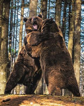 John Wiley - Dancing Bears