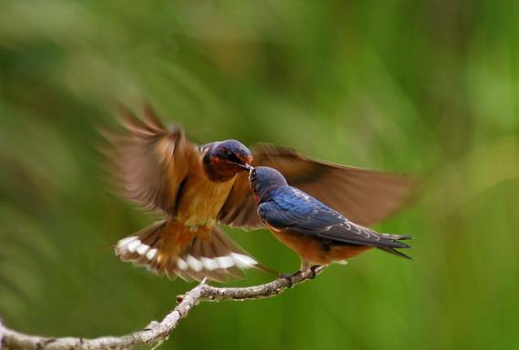 Rick Mayo - Feeding Time..Tree Swallow