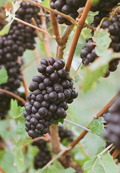grapes_colour.png