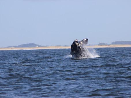 Comenzó la temporada de avistamiento de ballenas francas australes en las costas uruguayas