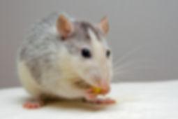 insecticide, pesticide, tue rat, poison souris, rat, mulot