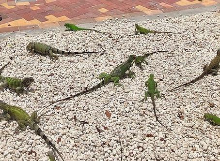 Iguanas in Aruba