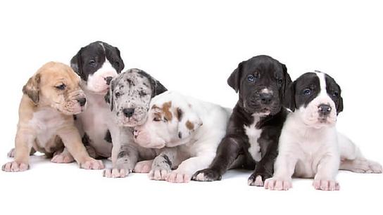 cachorros-de-gran-danes.png