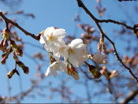 埼玉県で桜開花。
