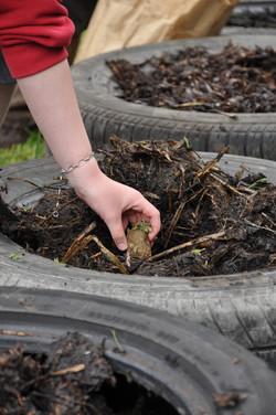 Seed potato planting