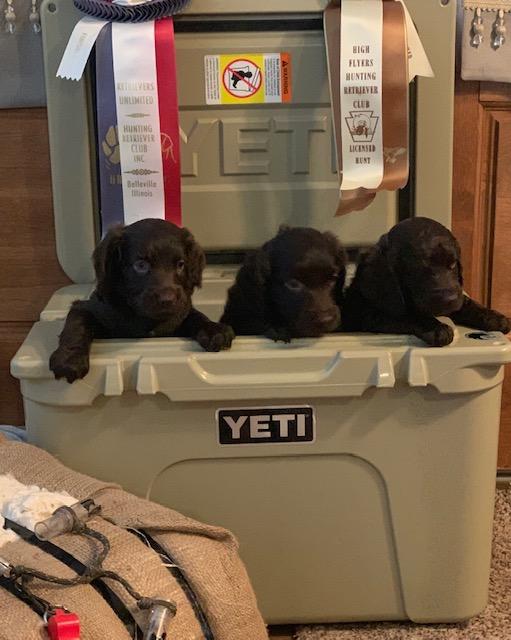 3 pups in a yeti.jpg