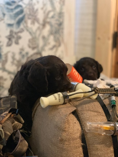 pup with duck call.jpg